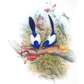 Goulds Blue Wren Birds (Fairy-Wren Bird)