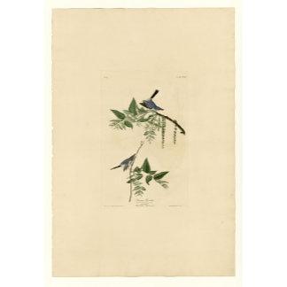 Blue Gray Flycatcher