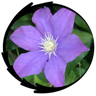 Purple Clematis Photo