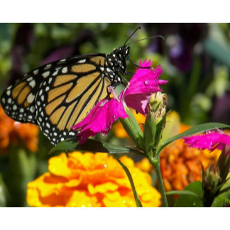 Monarch Butterfly on pink marigold