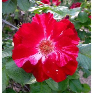Firecracker Rose