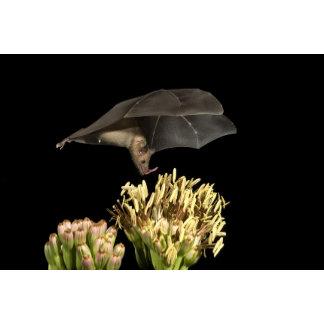 Lesser Long-Nosed Bat Tucker