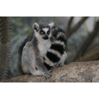 A little ring tailed lemar