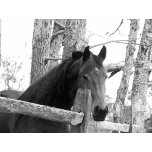 Horse Pictures Black and White.jpg