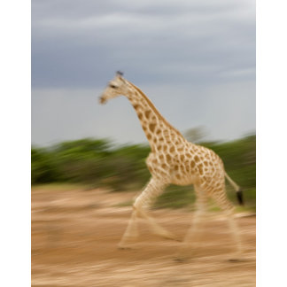 Giraffe running, side view (blurred motion)