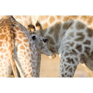 Giraffe (Giraffa camelopardalis) calf suckling,