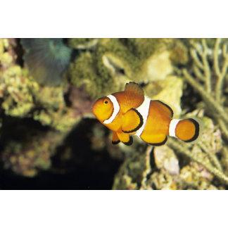 Common clownfish (Amphiprion ocellaris),