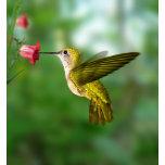colibri-de-oro.jpg