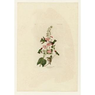Columbian Hummingbird