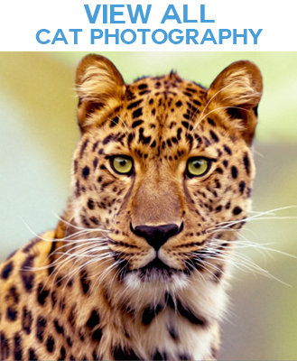 Wild Cats and Domestic Cats Photo Images Merchandise
