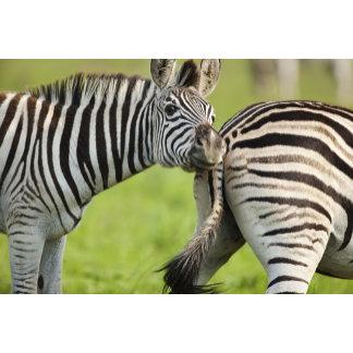 Burchell's Zebras (Equus quagga burchellii),