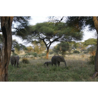 African elephants in Tanzania