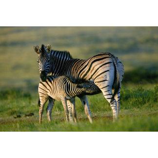 A Plains Zebra feeding her foal, Kwazulu-Natal