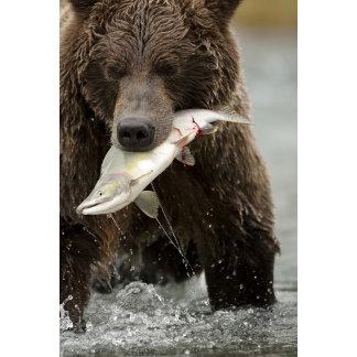 Brown bear, or Coastal Grizzly Bear, Ursus