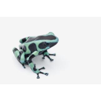 black and green poison dart frog (dendrobates