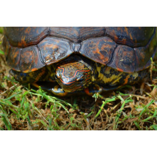 Ornate wood turtle from above in grass head out