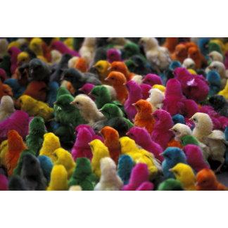 Asia, India, Karnataka, Mysore. Colored chicks