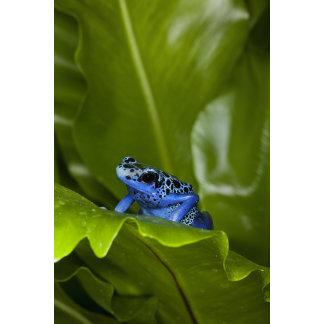 a Blue dart frog (Dendrobates azureus) recently