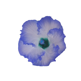 Blue tinted hibiscus flower