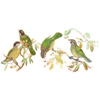 Goulds Catbird Birds