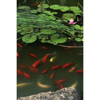 Close-up of Water lilys and koi goldfish,