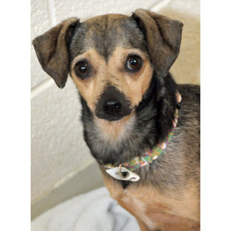 Eric, Chihuahua/Terrier Mix Shelter Dog