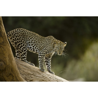 African Leopard, Panthera pardus, in a tree in