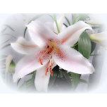 Easter Softened Lilyrev1.jpg