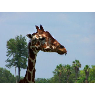 Giraffe photograph, head against blue sky picture
