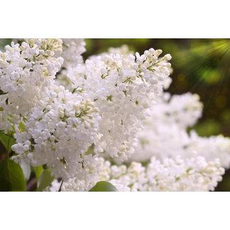 Pretty White Lilacs Photo