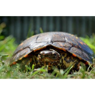Ornate wood turtle eye view grass