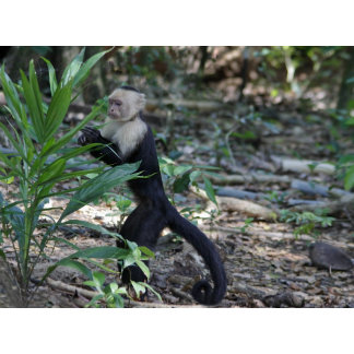 A Capuchin or White Faced Monkey