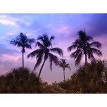 Tropical Violet.jpg