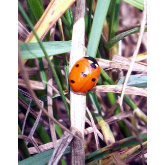 Ladybug Spotlight