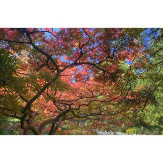 Autumn color Maple trees, Victoria, British 4