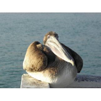 Satisfied Pelican