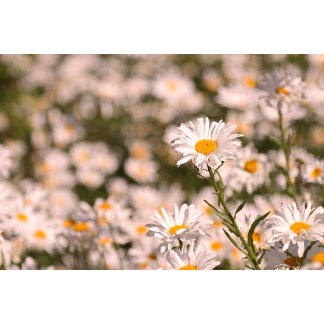 Pretty Field of Daisies