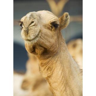 Camel Market near Cairo, Egypt