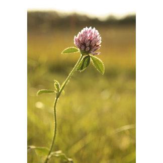 """clover flower in field poster print"""