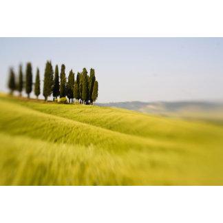Italy Tuscany, Selective Focus Cypress Trees
