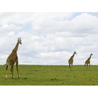 Giraffes in Kenya, Africa