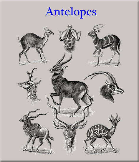 Antelopes and Relatives