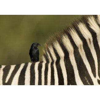 Fork-Tailed Drongo (Dicrurus adsimilis) riding