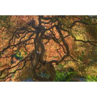 Autumn color Maple trees, Victoria, British 2