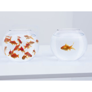 Contrast of  many goldfish in fishbowl and