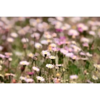 Field of Daisies Picture