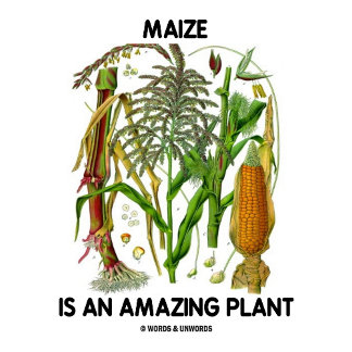 Maize Is An Amazing Plant (Food For Thought)