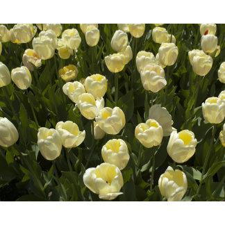Boston Garden-White Tulips