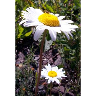 Oxeye Daisy 2
