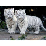baby_tigers.jpg